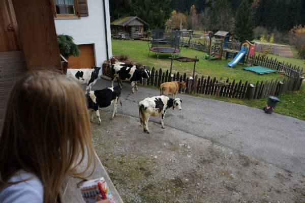 """""""Die Kühe kommen!"""""""